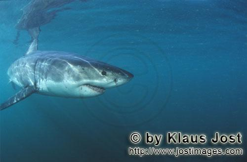 Weißer Hai/Great White shark/Carcharodon carcharias        Baby Great White Shark changing its dire