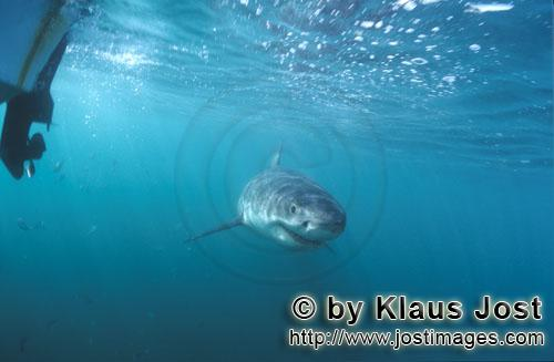 Weißer Hai/Great White shark/Carcharodon carcharias        Baby great white shark just below our bo