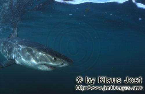 Weißer Hai/Great White shark/Carcharodon carcharias        Baby Great White Shark next to the camer