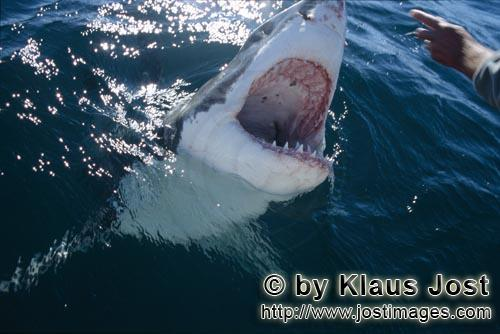 Weißer Hai/Great White Shark/Carcharodon carcharias        Great White Shark looking at the hand</b