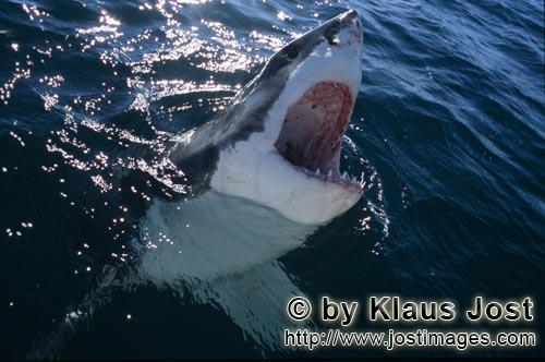 Great White Shark/Carcharodon carcharias        Great White Shark emerging from the depths