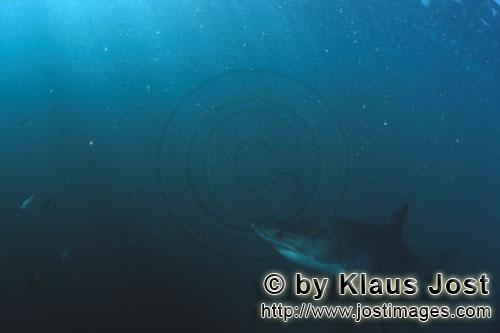 Weißer Hai/Great White shark/Carcharodon carcharias         Baby Great White Shark in plankton-rich