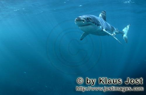 Weißer Hai/Great White shark/Carcharodon carcharias        Sun rays illuminate the path of a great