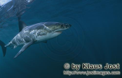 Weißer Hai/Great White shark/Carcharodon carcharias        Great White shark - a facinating animal<