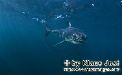 Great White shark/Carcharodon carcharias        Baby Great White Shark approaching         Six sea m