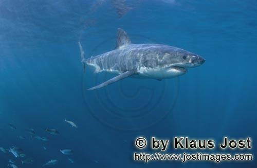 Weißer Hai/Great White shark/Carcharodon carcharias        Great White shark - a beautiful animal</