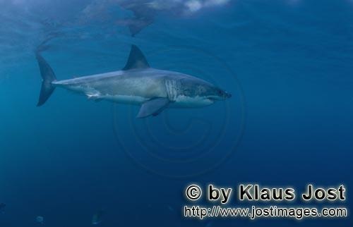 Weißer Hai/Great White shark/Carcharodon carcharias        Mysterious predator Great White Shark</b