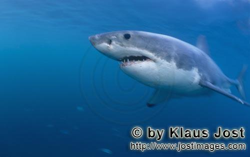 Great White shark/Carcharodon carcharias        Fascination Great White Shark        A great whit
