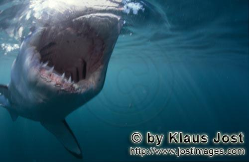 Weißer Hai/Great White shark/Carcharodon carcharias        Great White Shark - a seal´s eye view</