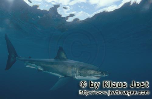 Weißer Hai/Great White shark/Carcharodon carcharias        Great White Shark – one of the sea's