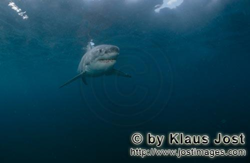 Great White shark/Carcharodon carcharias        Baby great white shark looks critically         Six