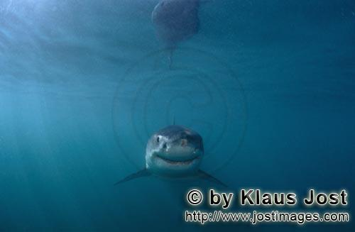 "Weißer Hai/Great White shark/Carcharodon carcharias         Baby Great White Shark -its ""smile"" is"