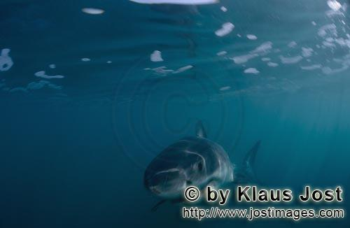 Weißer Hai/Great White shark/Carcharodon carchariasBaby Great White Shark (Carcharodon carcharias) Six sea miles from the coast of Gansbaai, quite close to Dyer Island and Gyser Rock, a Great White Shark only a few days old is seen moving close to the water surface. Great White Sharks are fully developed after birth – at this point in time they are 1.10 to 1.60 meters long – and can take care of themselves from the start. Their nourishment consists of smaller fish and squids. Pups are very careful and vanish off the scene as soon as they see a full-grown shark. Only very few pups reach adulthood.