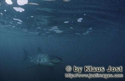 Weißer Hai/Great White shark/Carcharodon carcharias         Baby great white shark under sea surfac