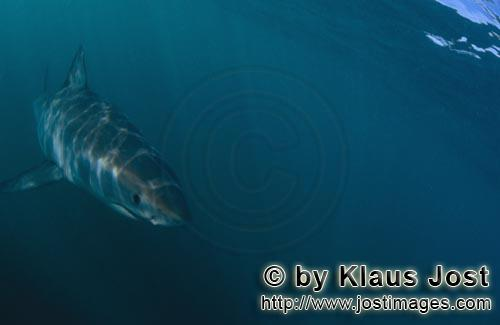 Weißer Hai/Great White shark/Carcharodon carcharias        Baby Great White Shark in the dark water