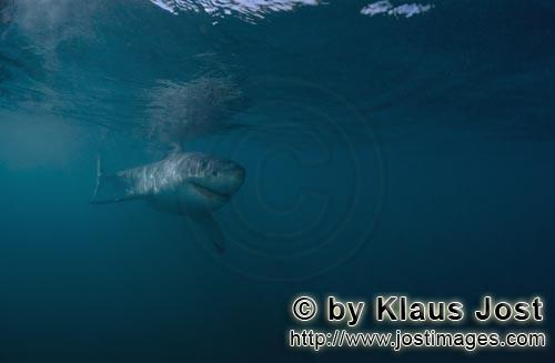 Great White shark/Carcharodon carcharias        Baby Great White Shark         Six sea miles from t