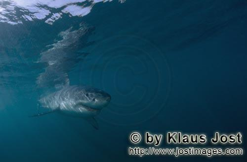 Weißer Hai/Great White shark/Carcharodon carchariasBaby Great White Shark in green water Six sea miles from the coast of Gansbaai, quite close to Dyer Island and Gyser Rock, a Great White Shark only a few days old is seen moving close to the water surface. Great White Sharks are fully developed after birth – at this point in time they are 1.10 to 1.60 meters long – and can take care of themselves from the start. Their nourishment consists of smaller fish and squids. Pups are very careful and vanish off the scene as soon as they see a full-grown shark. Only very few pups reach adulthood.