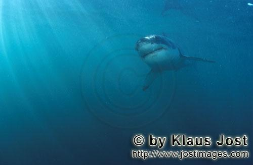 Weißer Hai/Great White shark/Carcharodon carcharias        Baby great white shark in the light-floo
