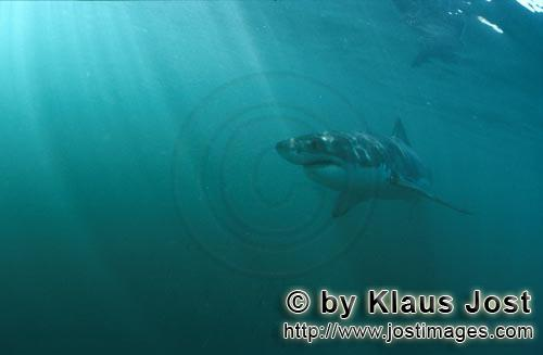 Weißer Hai/Great White shark/Carcharodon carcharias        Great White Shark is on top of the food