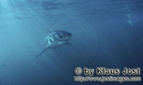 Weißer Hai/Great White shark/Carcharodon carcharias        Baby Great White Shark exploring the sit