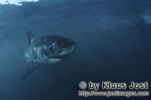 Weißer Hai/Great White shark/Carcharodon carcharias        Baby Great White Shark showing great int