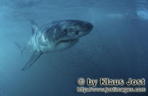 Weißer Hai/Great White shark/Carcharodon carcharias        Impressive Baby Great White Shark