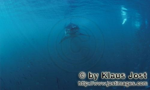 Weißer Hai/Great White shark/Carcharodon carcharias        Baby Great White Shark in a shoal