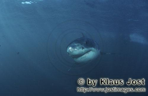 Weißer Hai/Great White shark/Carcharodon carcharias        Baby Great White Shark approaching with