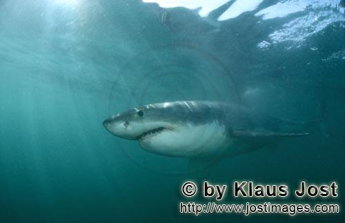 Great White shark/Carcharodon carcharias        Impressive top predator Great White Shark        A <