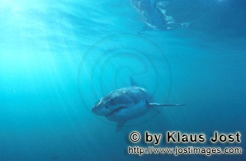 Weißer Hai/Great White shark/Carcharodon carchariasBaby Great White Shark foraging Six sea miles from the coast of Gansbaai, quite close to Dyer Island and Gyser Rock, a Great White Shark only a few days old is seen moving close to the water surface. Great White Sharks are fully developed after birth – at this point in time they are 1.10 to 1.60 meters long – and can take care of themselves from the start. Their nourishment consists of smaller fish and squids. Pups are very careful and vanish off the scene as soon as they see a full-grown shark. Only very few pups reach adulthood.