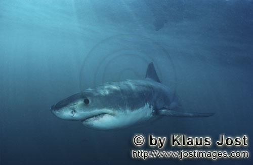 Weißer Hai/Great White shark/Carcharodon carcharias        The dark blue eye of the Baby Great Whit