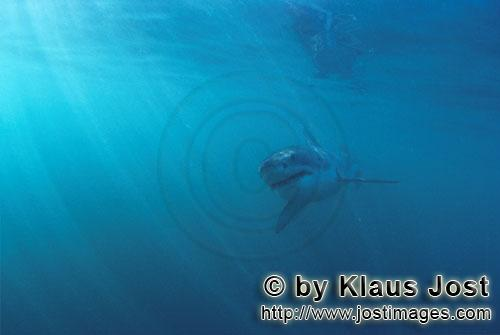 Weißer Hai/Great White shark/Carcharodon carcharias        Baby Great White Shark         Six sea m