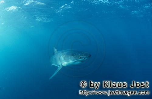 Weißer Hai/Great White shark/Carcharodon carcharias        Baby Great White Shark exploring the sur