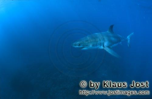 Weißer Hai/Great White shark/Carcharodon carcharias        The Great White Sharks scientific name i