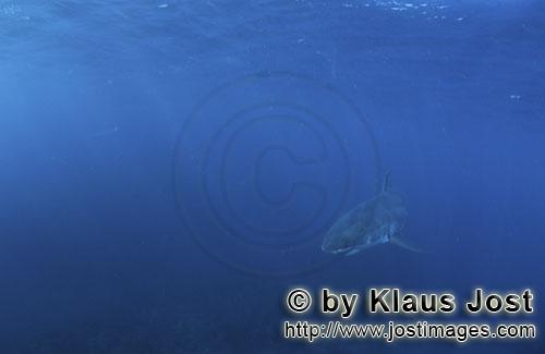 Weißer Hai/Great White shark/Carcharodon carchariasBaby Great White Shark in the deep blue ocean Six sea miles from the coast of Gansbaai, quite close to Dyer Island and Gyser Rock, a Great White Shark only a few days old is seen moving close to the water surface. Great White Sharks are fully developed after birth – at this point in time they are 1.10 to 1.60 meters long – and can take care of themselves from the start. Their nourishment consists of smaller fish and squids. Pups are very careful and vanish off the scene as soon as they see a full-grown shark. Only very few pups reach adulthood.