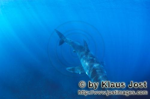 Weißer Hai/Great White shark/Carcharodon carcharias        Baby Great White Shark in gleaming light