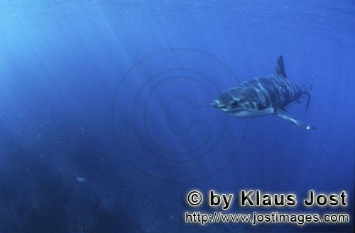 Great White shark/Carcharodon carcharias        Young Great White Shark in a fascinating light
