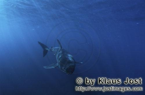 Great White shark/Carcharodon carcharias        Baby Great White Shark approaching head-on         S