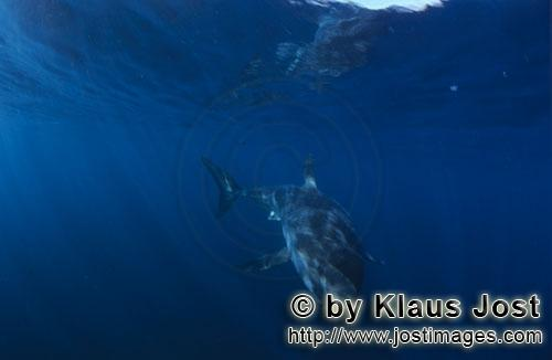 Weißer Hai/Great White shark/Carcharodon carcharias        Baby Great White Shark        Six sea mil