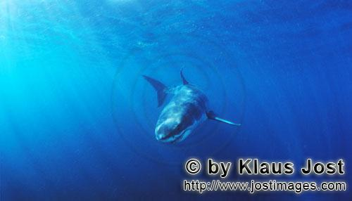 Weißer Hai/Great White shark/Carcharodon carcharias        Baby Great White Shark changing directio