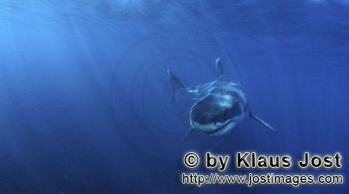 Weißer Hai/Great White shark/Carcharodon carcharias        Baby Great White Shark in action