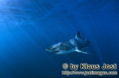 Weißer Hai/Great White shark/Carcharodon carcharias        Dynamic Great White Shark in the deep b