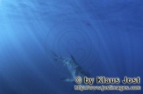 Weißer Hai/Great White shark/Carcharodon carcharias        Great White Shark         Six sea miles