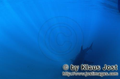 Great White shark/Carcharodon carcharias        Baby Great White Shark in the center of the incident