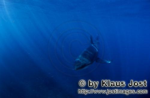 Weißer Hai/Great White shark/Carcharodon carcharias        Baby Great White Shark in the deep blue