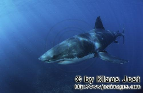How Long Can A Great White Shark Live Without Food