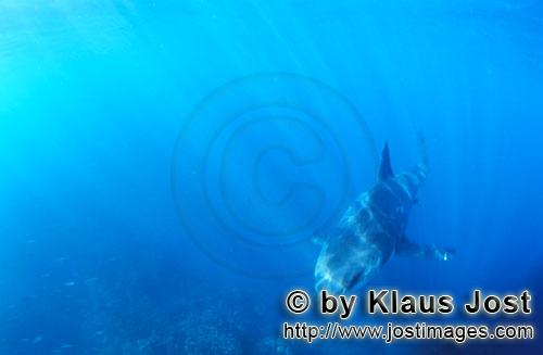 Weißer Hai/Great White shark/Carcharodon carchariasBaby Great White Shark approaching Six sea miles from the coast of Gansbaai, quite close to Dyer Island and Gyser Rock, a Great White Shark only a few days old is seen moving close to the water surface. Great White Sharks are fully developed after birth – at this point in time they are 1.10 to 1.60 meters long – and can take care of themselves from the start. Their nourishment consists of smaller fish and squids. Pups are very careful and vanish off the scene as soon as they see a full-grown shark. Only very few pups reach adulthood.