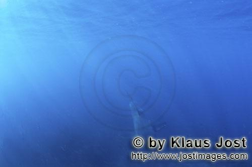 Weißer Hai/Great White shark/Carcharodon carcharias        Baby Great White Shark emerging from the