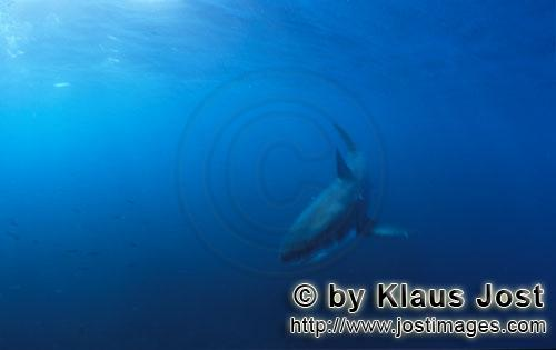 Weißer Hai/Great White shark/Carcharodon carcharias         Baby Great White Shark         Six sea