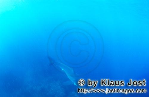 Weißer Hai/Great White shark/Carcharodon carcharias        Baby Great White Shark in the mysterious